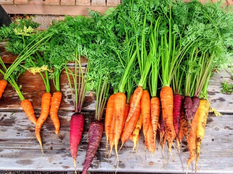 fresh carrots pulled from victory garden