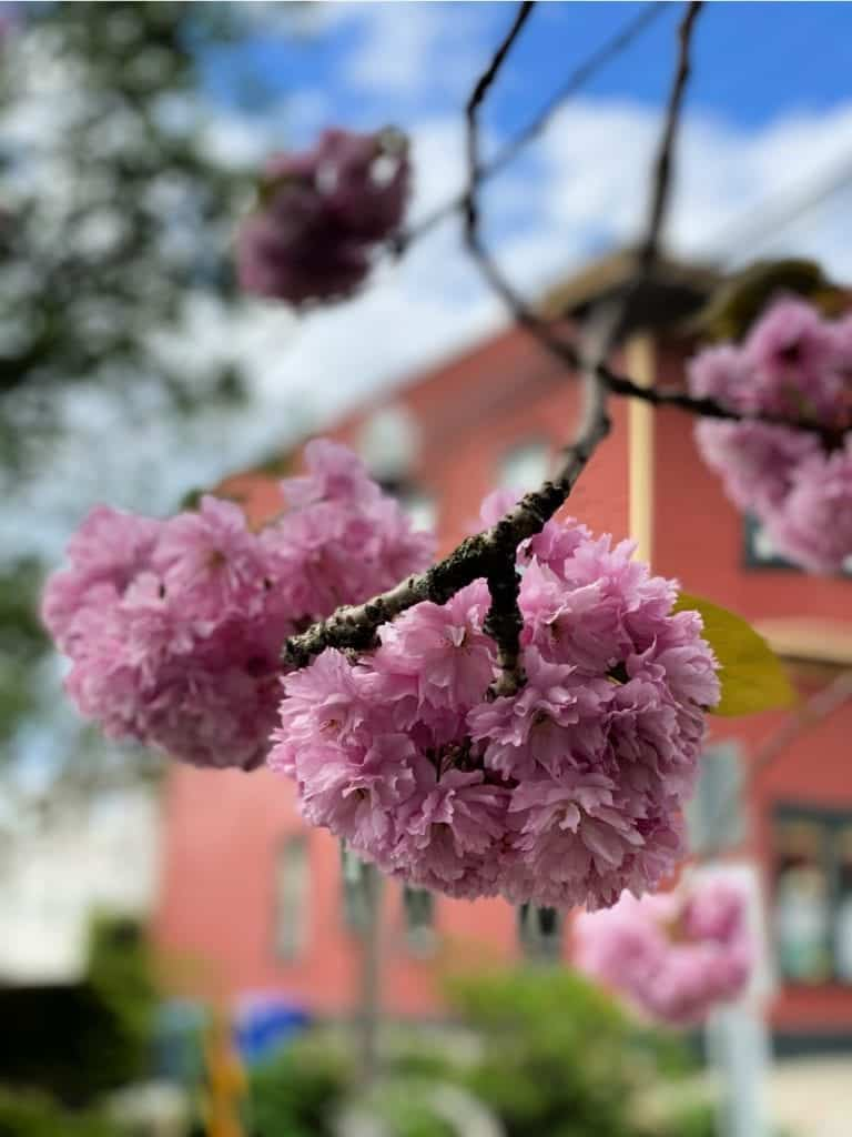 deep pink cherry blossoms in vancouver