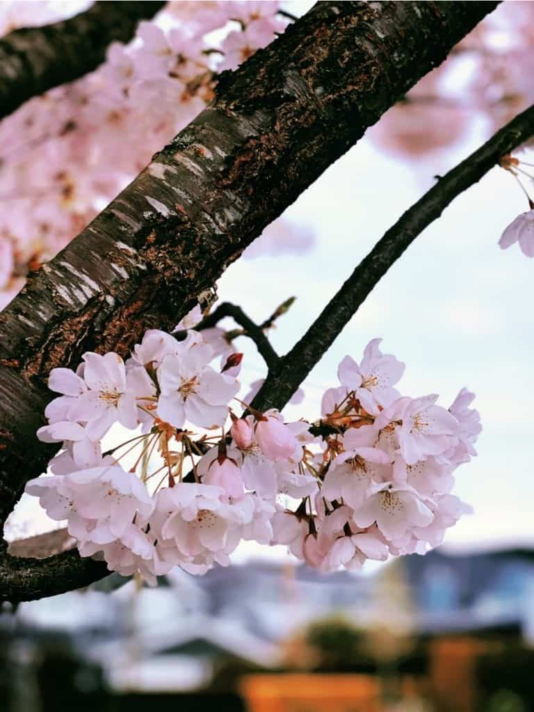 pink cherry blossoms on tree