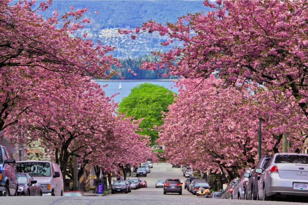 vancouver street lined with cherry blossoms