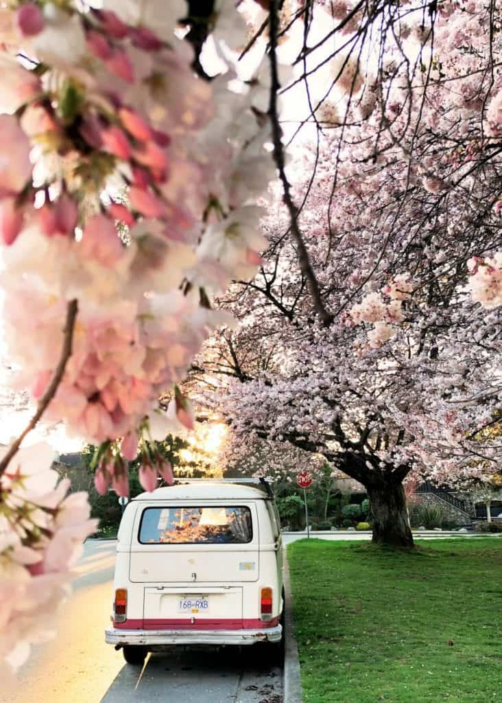 white van parked under cherry blossom trees vancouver