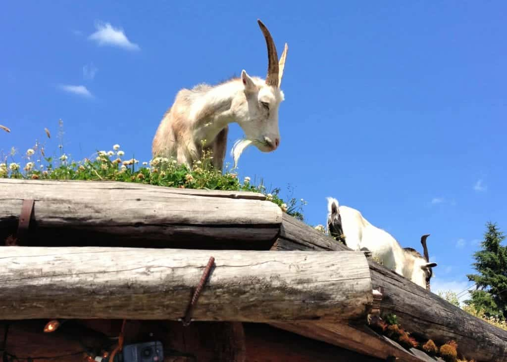 goats on a roof in coombs