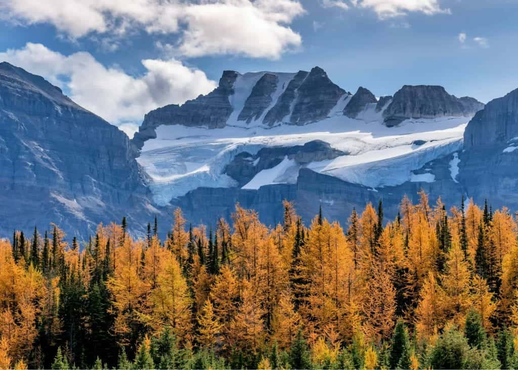 golden larches with banff mountains