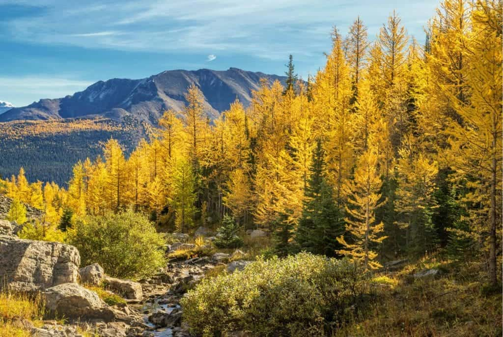 golden larches in banff