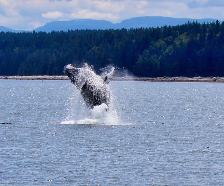 humpback whale breaching in desolation sound